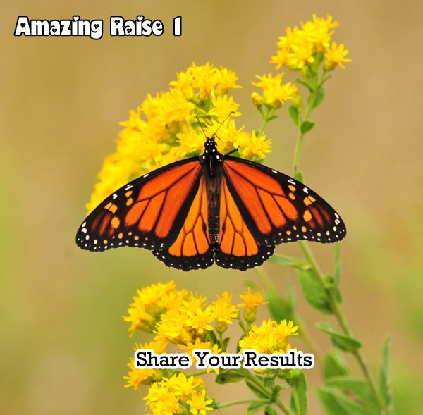 Amazing Raise- Share Your Results Releasing Monarchs for the 2013 Monarch Migration