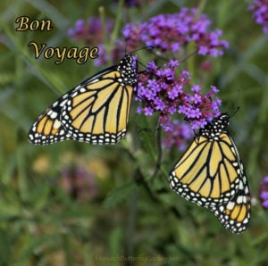Two Female Monarchs Drying Their Butterfly Wings before the Epic Monarch Migration