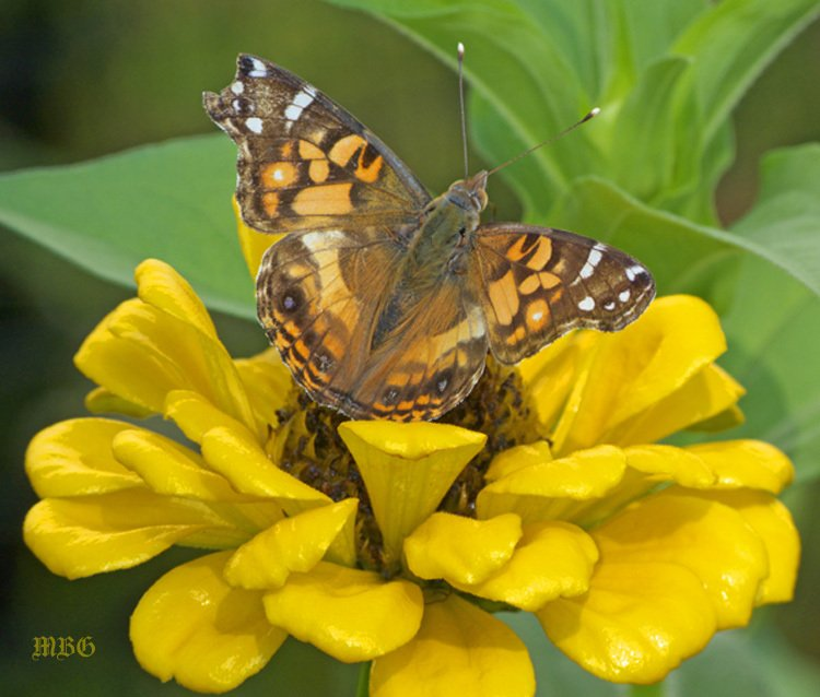 Painted Lady Butterfly on Yellow Benary's Giant Zinnia