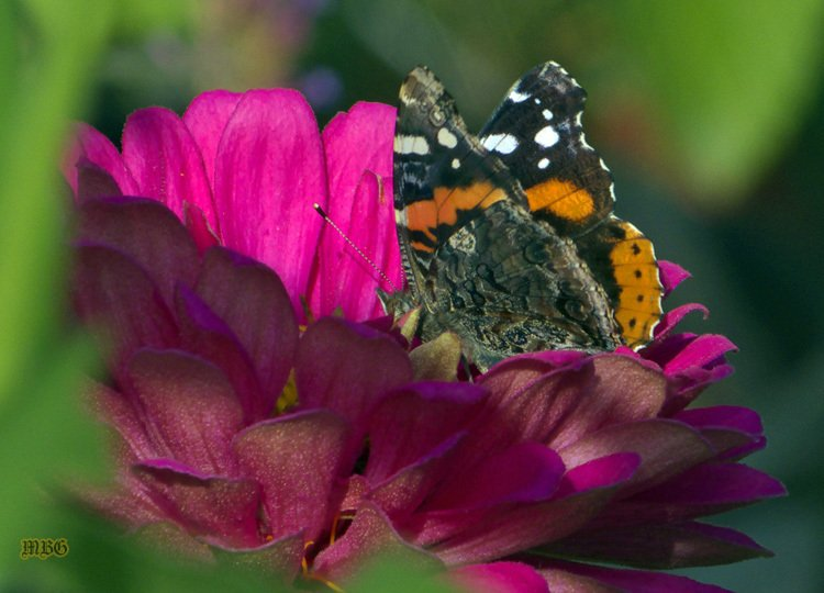 Red Admiral on Pink State Fair Zinnia