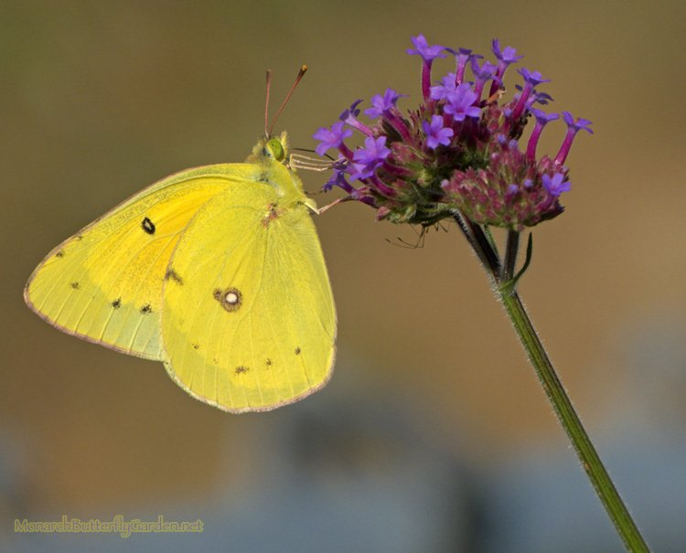 Top Butterfly Plants for a Successful Butterfly Garden- A Sulphur butterfly sips Sweet Nectar from Purple the purple blooms of Verbena Bonariensis