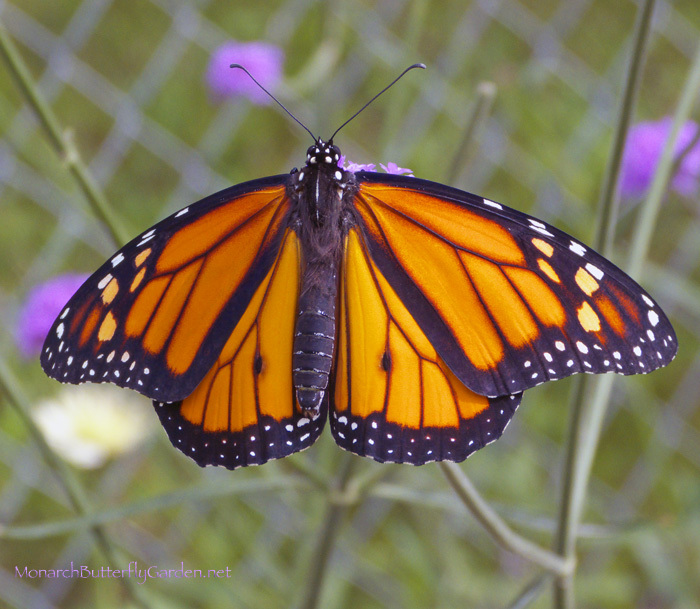 New Male Monarch Getting Ready for the 2013 Monarch Migration