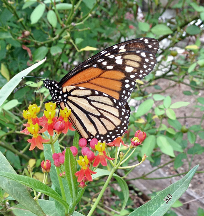A Monarch Feeds from Asclepias curassavica blooms