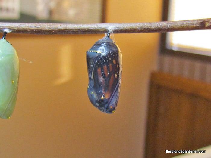 Dark Monarch Chrysalis before Hatching