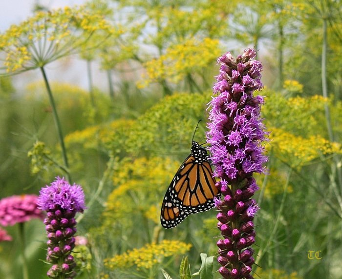 a newborn monarch male hanging from liatris