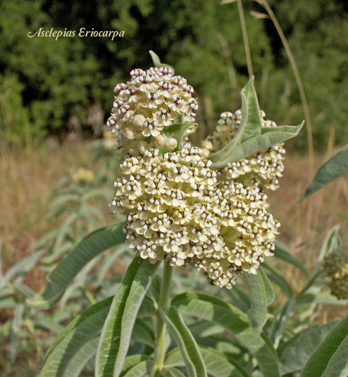 A Milkweed Variety just for California? Get more info on Asclepias eriocarpa and find seeds here...