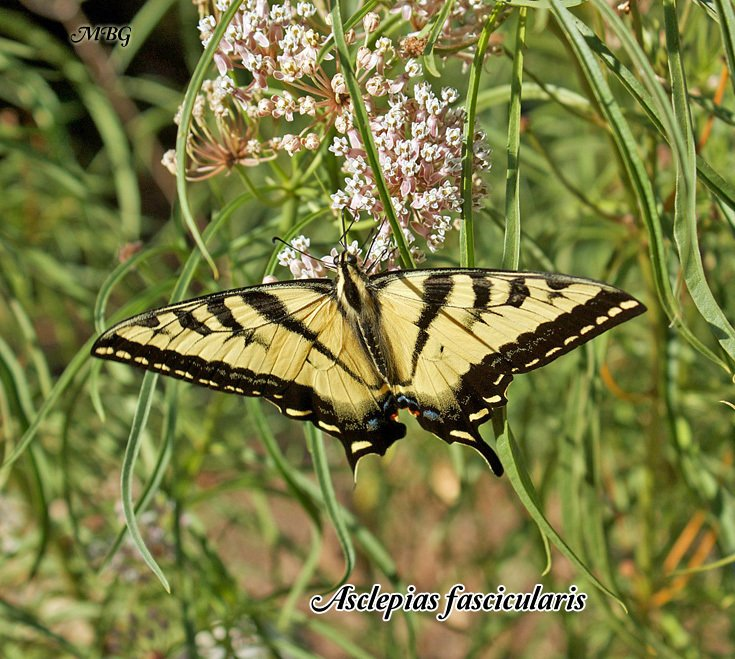 A Western Swallowtail sips sweet nectar from narrow-leaved Asclepias fascicularis. This easy-to-grow western milkweed variety is drought tolerant and can survive seasonal flooding. Narrowleaf milkweed grows in a variety of soil conditions from garden soil to clay to support western butterflies and monarch caterpillars.