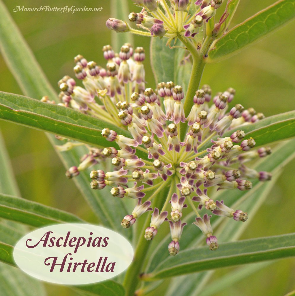 Asclepias hirtella is a tall green milkweed that serves as a valuable nectar source for butterflies and a variety of beneficial bees. The leaves also host munching monarch caterpillars. Find milkweed seeds here...