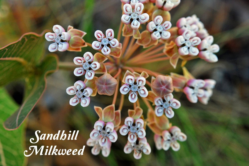 Asclepias humistrata- sandhill milkweed or pinewoods milkweed is native to the southeastern U.S. and has a serpentine growth habit.
