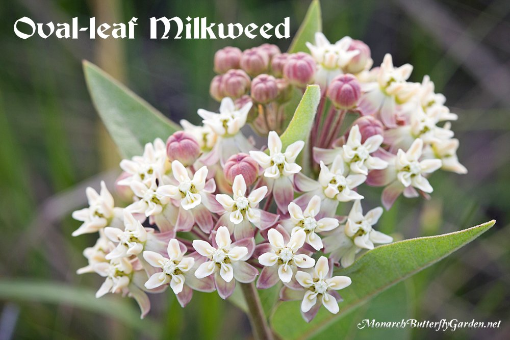 Asclepias ovalifolia is an oval-leaf milkweed native to Canada and the northern US. Get more info and find seeds for your butterfly garden...