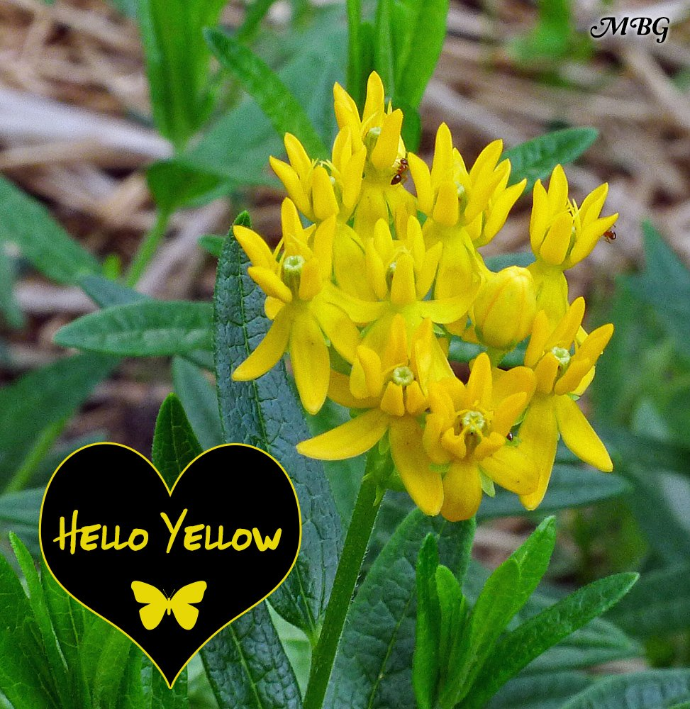 The 'hello yellow' variety of butterfly weed can be mixed in with the original orange Ascelpias tuberosa to create a colorful display of sunny milkweed flowers for precious pollinators. It's also a host plant for Monarch Caterpillars.