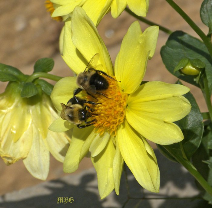 Collarette dahlias provide late season nectar to bumble bees and other smallinators long after most native garden flowers have gone to seed.