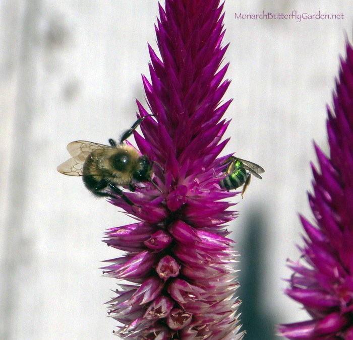 Celosia is a excellent nectar source for fall pollinators- are native-only wildlife gardens starving fall pollinators?
