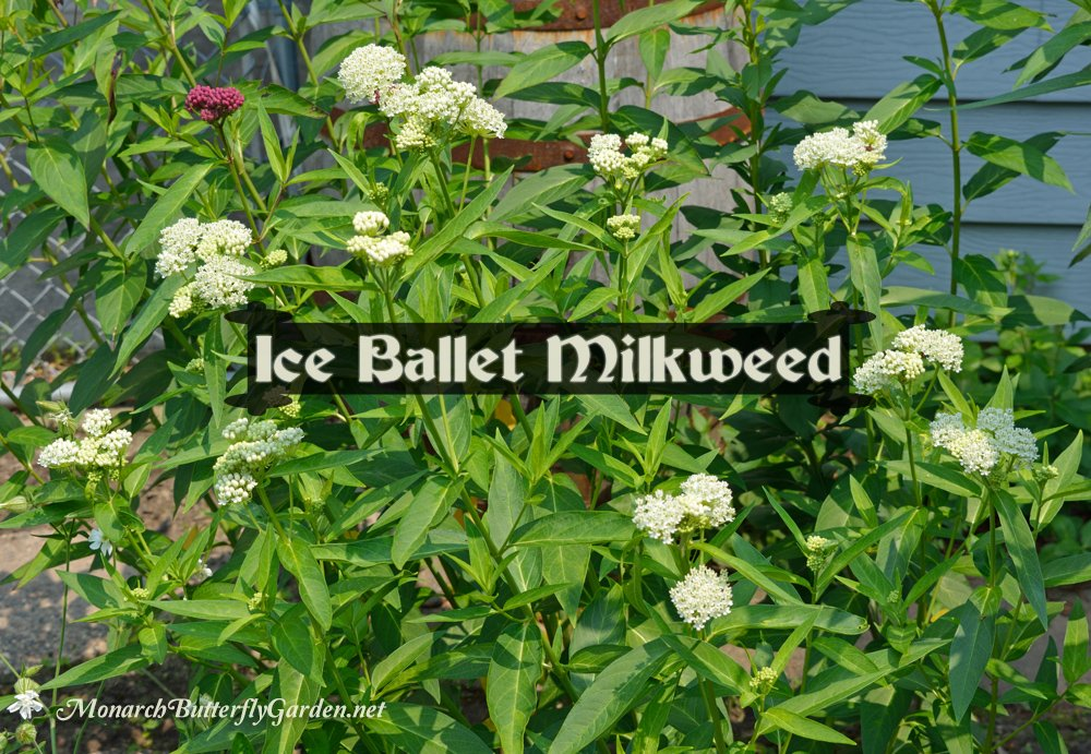 'Ice Ballet' is a native cultivar of swamp milkweed. Its beautiful snow white blooms attract monarchs and other pollinators, while its leaves feed hungry monarch caterpillars. See 25+ Milkweed Ideas for Butterfly Gardens...