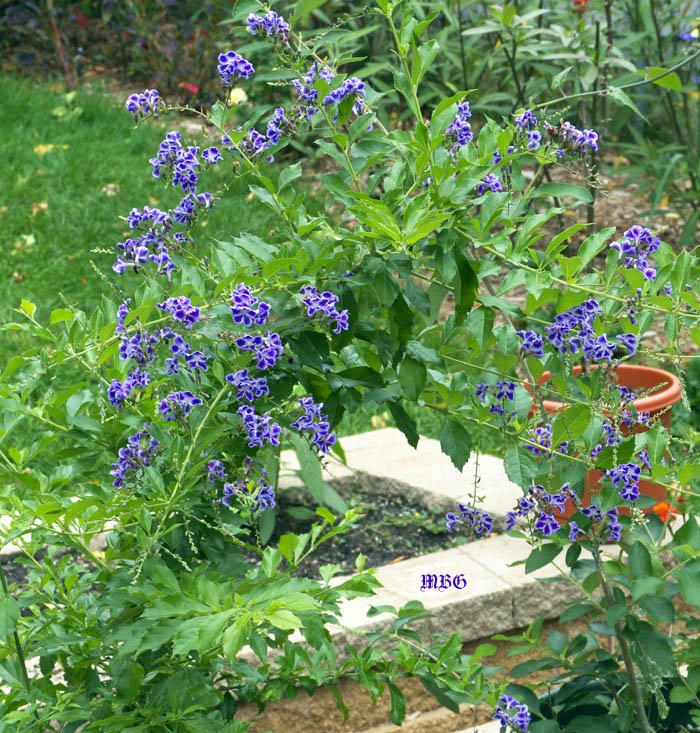 Duranta erecta is a tropical butterfly plant that can be overwintered in cold climates. It is a favorite bumble bee plant in our northern garden.