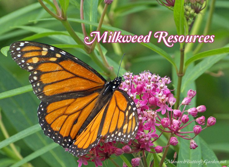 25+ Native and Non-Native Milkweed Varieties for a More Successful Butterfly Garden- Find milkweed seeds and plants for your garden to attract more monarch butterflies this season. Milkweed is also the host plant for those hungry monarch caterpillars.