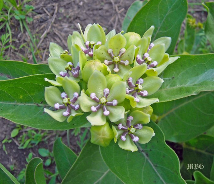 The thick leaves of asclepias viridis are a tasty treat for spring time monarch caterpillars.