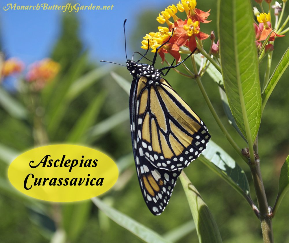 Asclepias curassavica, aka tropical milkweed, is a top milkweed plant for monarch caterpillars and an important nectar source during the monarch migration.