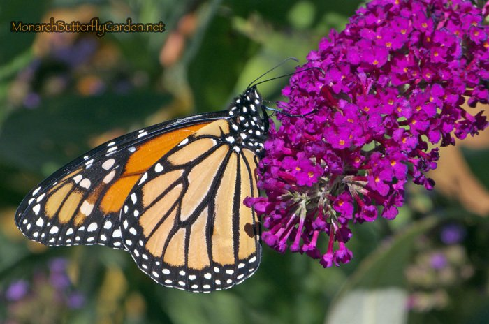 male monarch hanging out on magenta buddleja buzz butterfly bush