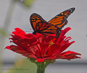 Are 'Native Only' Wildlife Gardens Starving Fall Pollinators?