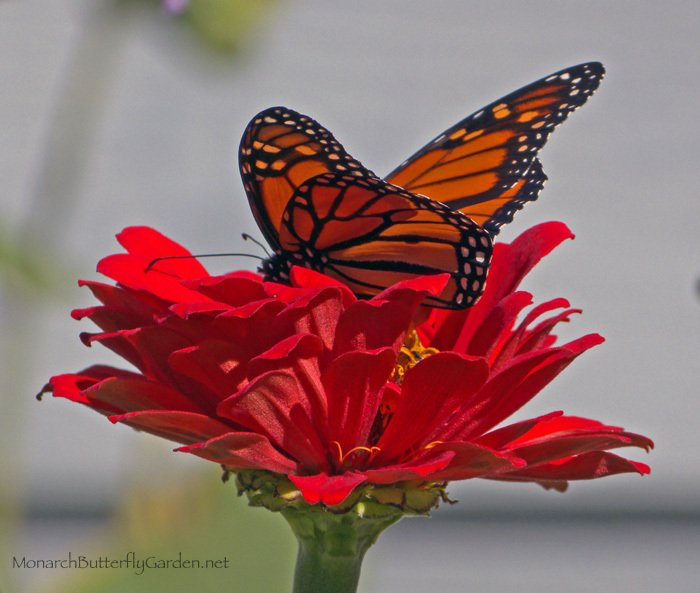 Big Zinnia Varieties are favorite fueling stations for fall migrating monarchs and other pollinators. Discover other continuous-blooming annuals that help support late season pollinators...