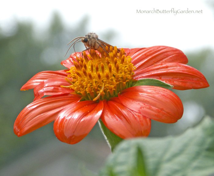Mexican sunflowers are one of the top attracting flowers during the monarch migration, and can support hungry pollinators through first frost, if needed.