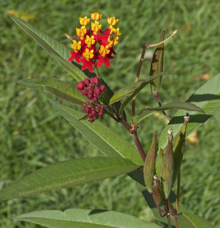 Asclepias curassavica Buds, Flowers, and Seedpods growing at the same time.