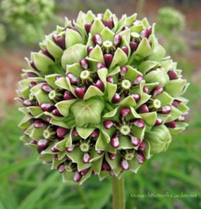 25+ Garden Variety Milkweed Plants- Ornamental Asclepias Asperula is a Stunning Milkweed Variety for the Butterfly Garden. It's also an important Host Plant and Nectar Source for Spring Monarch Butterflies.
