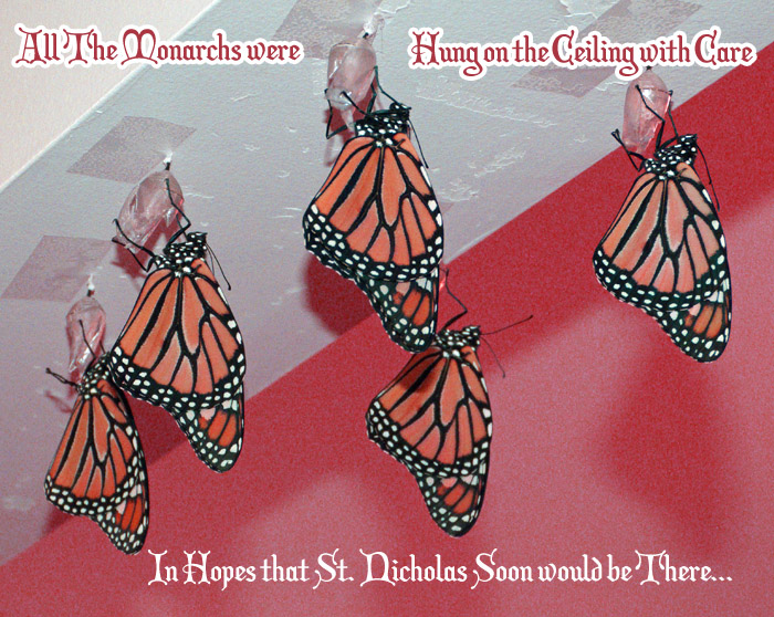 Monarch Butterflies hung on the ceiling with care, in hopes that St. Nicholas soon would be There!