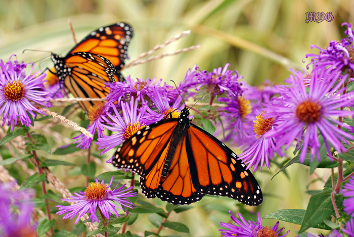 2 migrating monarchs share native new england asters