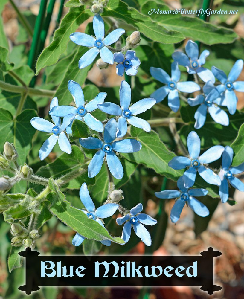 Blue Milkweed can be grown as an annual in North American gardens and will flower and seed its first season. More info and photos...