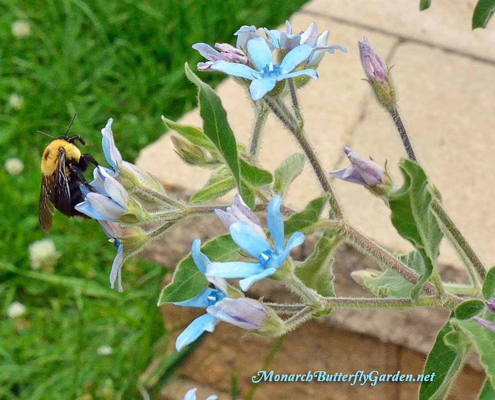 Bumble bees are regular visitors to Tweedia caerulea. The blue milkweed flowers have proven to be one of their surprise favorite nectar sources.