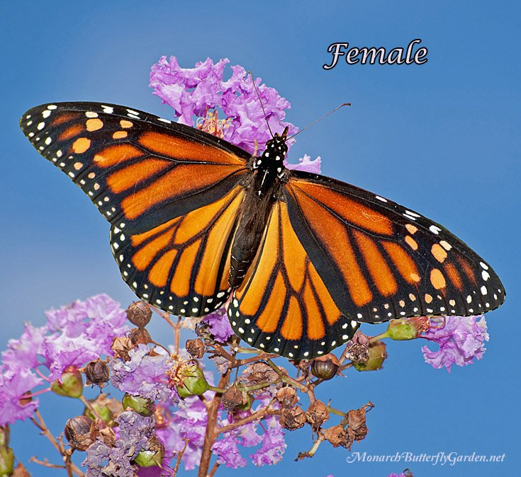 How Does this Monarch Female look Different from her Male Counterpart? Four photos that illustrate the differences...