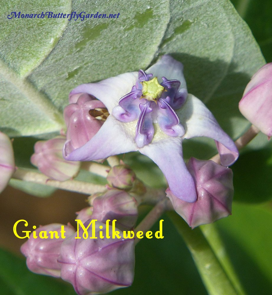 Giant Milkweed has big bold blooms. the large flower buds have also been a favorite egg-laying spot for monarch females. This is a perennial for warm regions and also a fast growing annual. More info and photos...