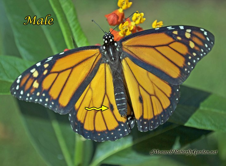 4 Large Photos that Illustrate the Differences between Monarch Males and Females
