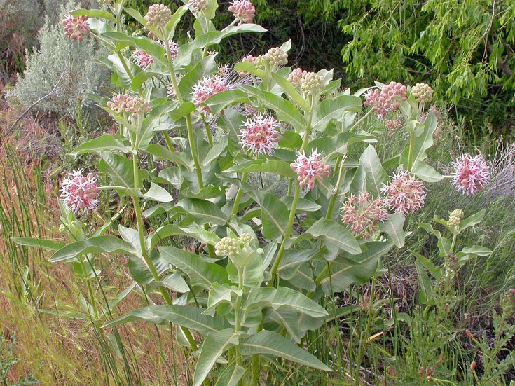 A 'Showy' Milkweed Patch that's capable of supporting both monarch caterpillars...and butterflies! Learn more about Asclepias speciosa...