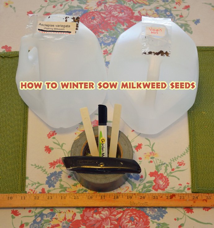 How To Winter Sow Milkweed Seeds: 11 Simple Steps for getting Old Man Winter to Stratify your Seeds so they'll Sprout come Spring.