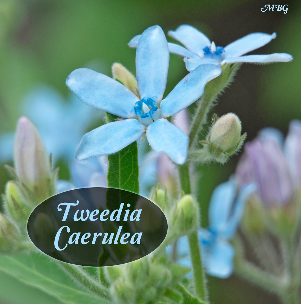 Tweedia caerulea is blue milkweed that supports garden pollinators including red admiral butterflies and bumble bees. Southern star is the only milkweed variety with true blue flowers.