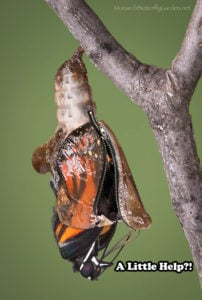 Viceroy butterfly with stuck zipper chrysalis