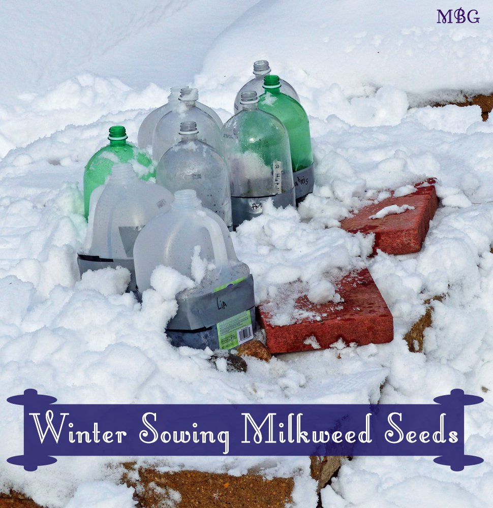 Place winter sowing containers in a secure area that gets plenty of sun. Use rocks or bricks to keep containers in place. 11 simple steps for winter sowing milkweed seeds.