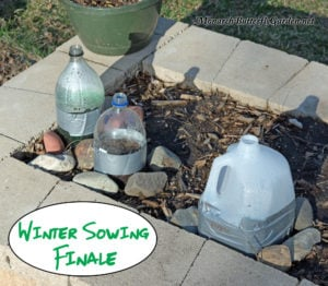 Winter Sowing Milkweed Seeds Part 3- How to care for your milkweed seedlings when they come to life in spring