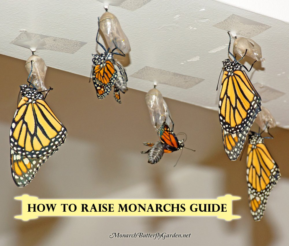 How To Raise Healthy Monarch Butterflies to Support the Struggling Monarch Population While Bringing More Joy to your Butterfly Garden.