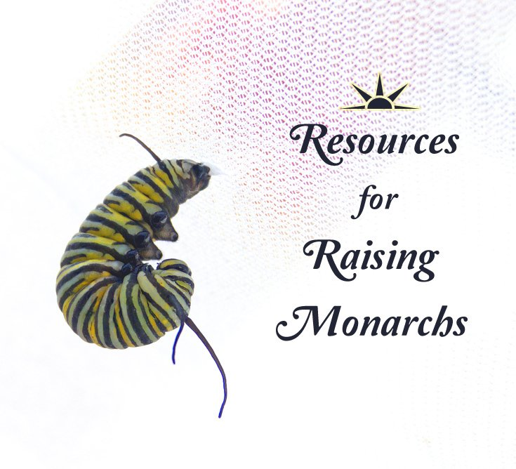 Raising Monarch Butterflies- a list of helpful raising resources to boost your success rate raising monarchs indoors.