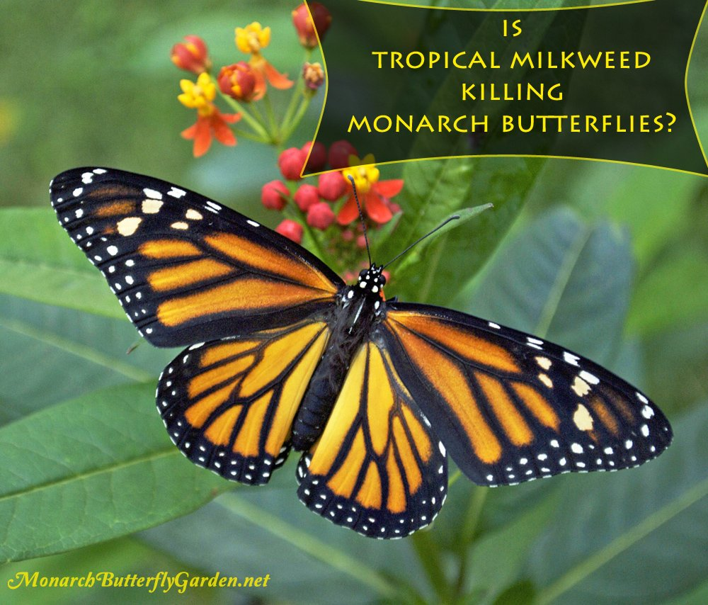 is tropical milkweed killing monarch butterflies grow or no