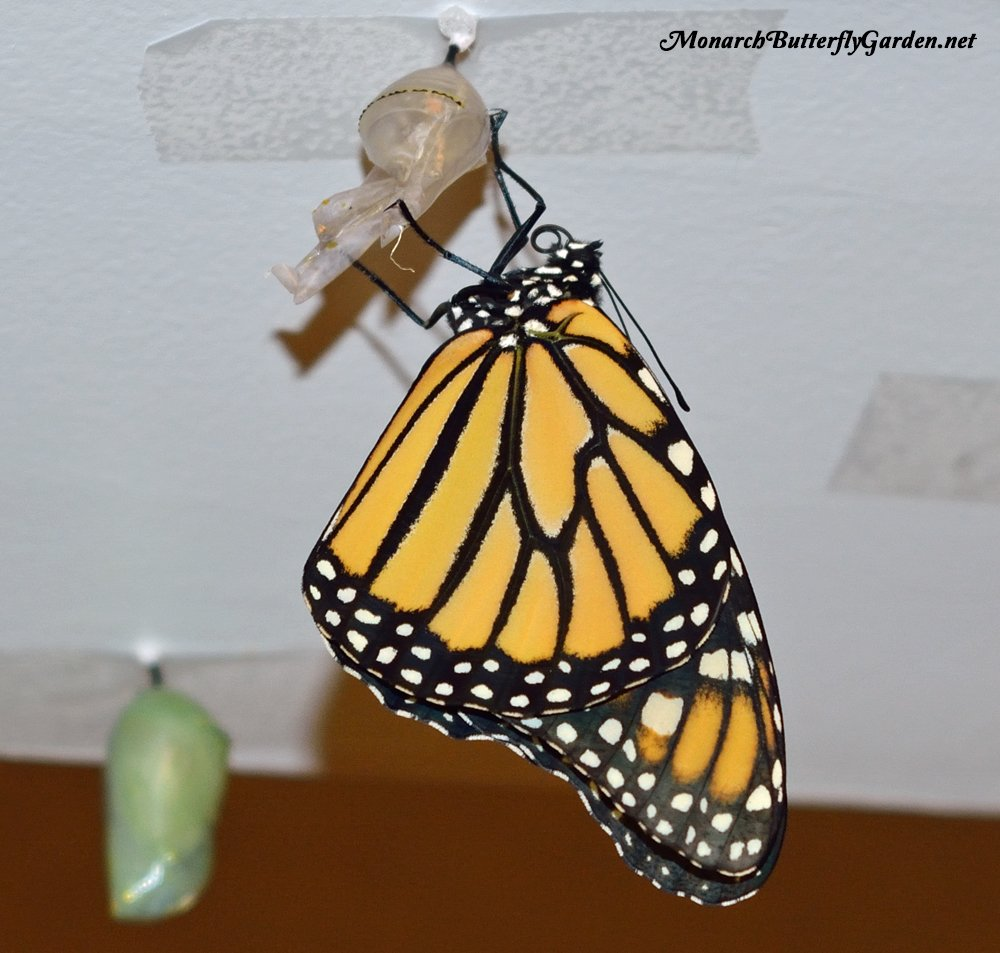 Raising Resources- These are the resources I personally use to raise monarch butterflies with a 90%+ survival rate, and they can help you have more raising success too...