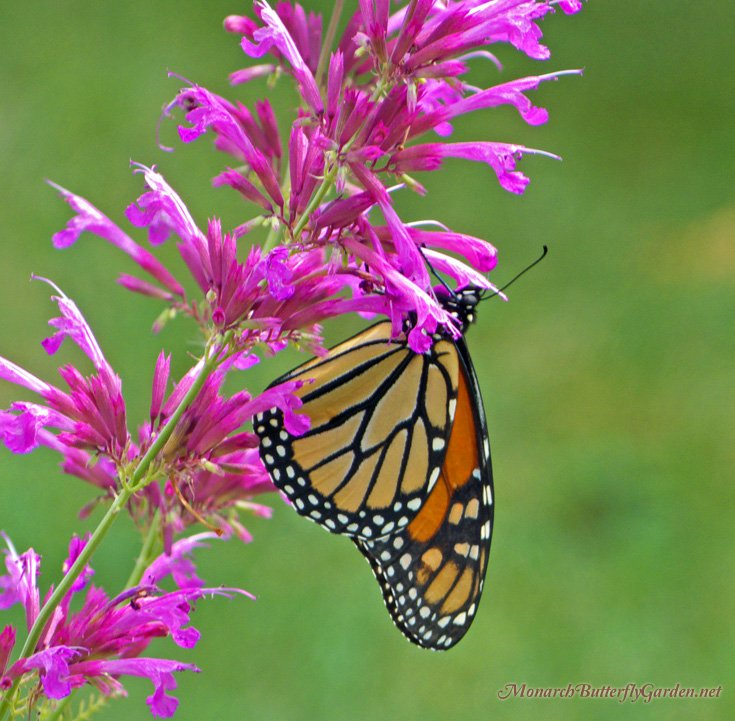 Agastache Ava Is A Popular Hummingbird Plant That Also Attracts Migrating Monarch Butterflies