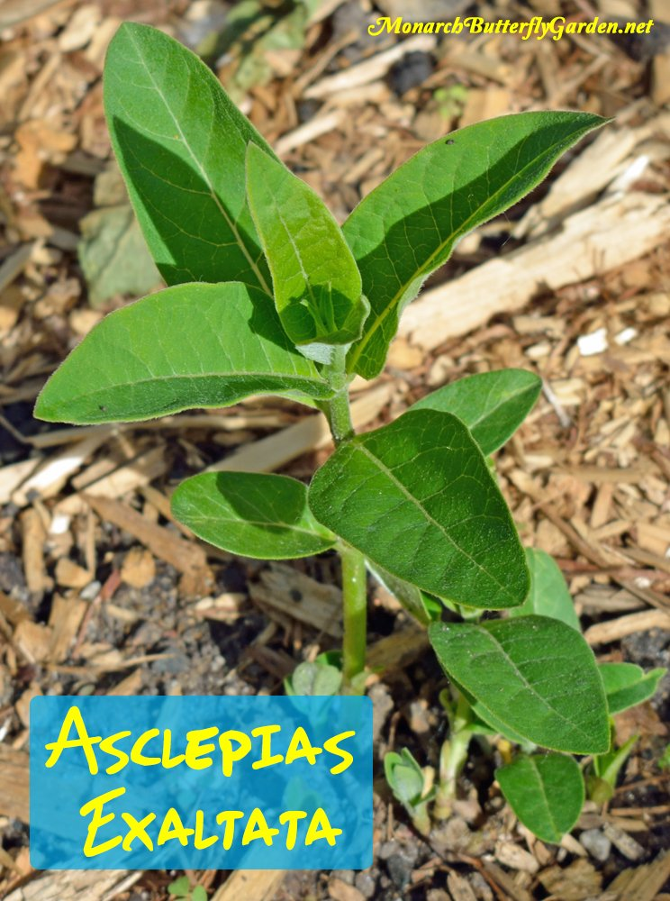 Asclepias exaltata is a more common milkweed in woodlands and lake shores, but since it is reported to have a non-invasive growth habit, we're giving it a go in the butterfly garden. More info and pictures...