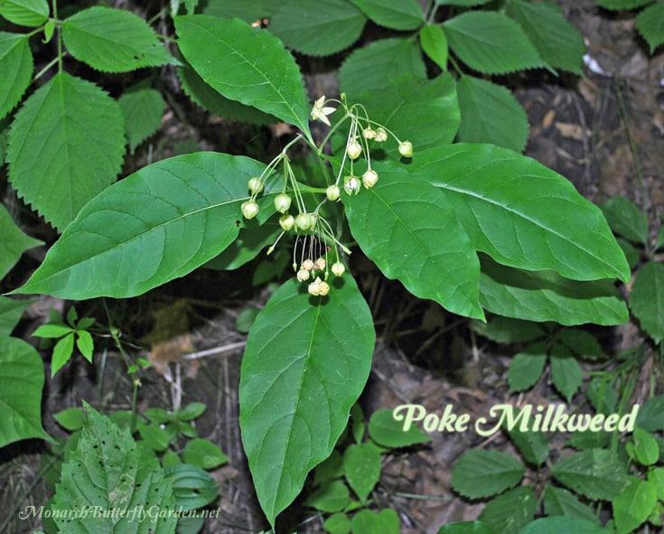Asclepias exaltata poke milkweed leaves and weeping flowers