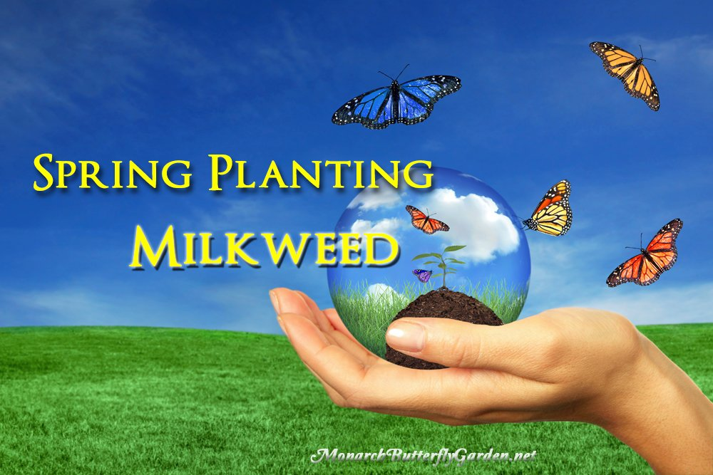 Try these Top Tips for Spring Planting Milkweed to get your Butterfly Garden off to an Amazing Start this season.