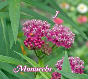 I Love Monarchs...from the Bottom of my Milkweed!
